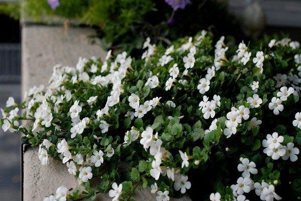 Цветок требует регулярного и обильного полива непосредственно с момента прорастания до конца его вегетационного периода