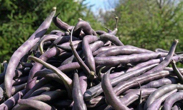 """Плоды фасоли """"Пурпурный король"""""""