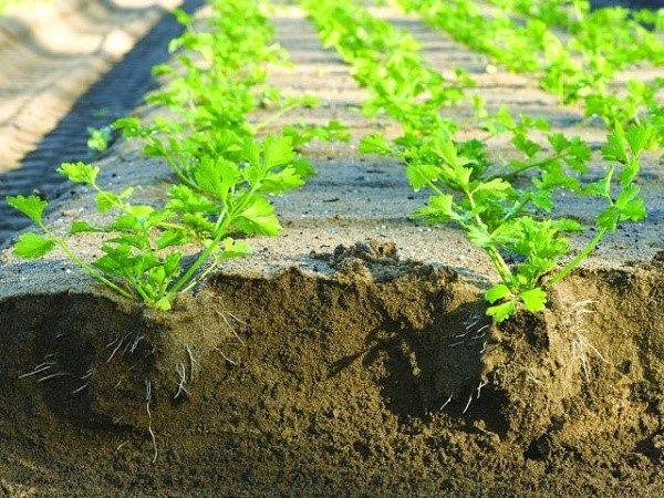 Важные параметры для взращивания сеянцев сельдерея - это достаточное количество света и воды, а также комфортная для произрастания температура