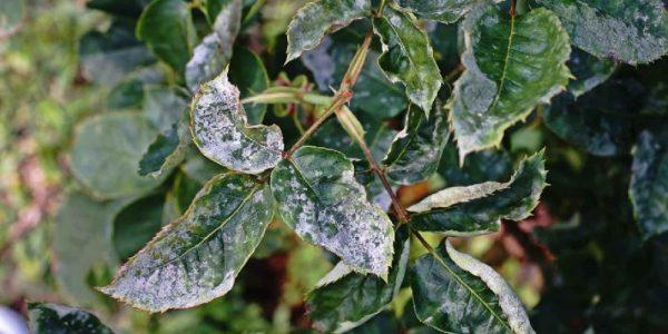 Поражение листьев мучнистой росой