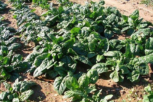 Благоприятный температурный режим для шпината в весеннее время колеблется между 12 и 18°C