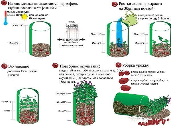 Полный цикл выращивания картофеля в мешке