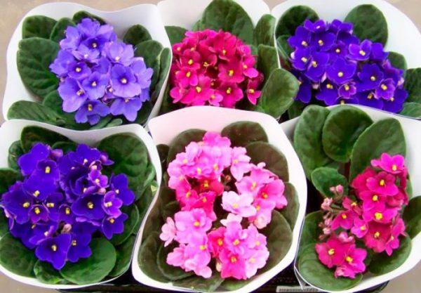 Фиалки – одни из самых популярных комнатных цветов
