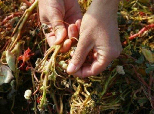 Размножать настурцию можно с использованием черенков
