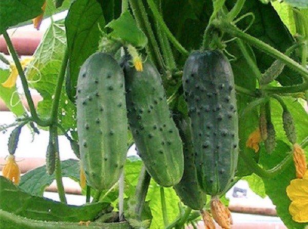 Кусты данного сорта приносят небольшие плоды, однако компенсируют их величину количеством