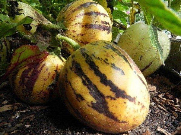 Предварительное проращивание семян данного растения только ускорит его взращивание, хотя сама по себе данная процедура не является обязательной