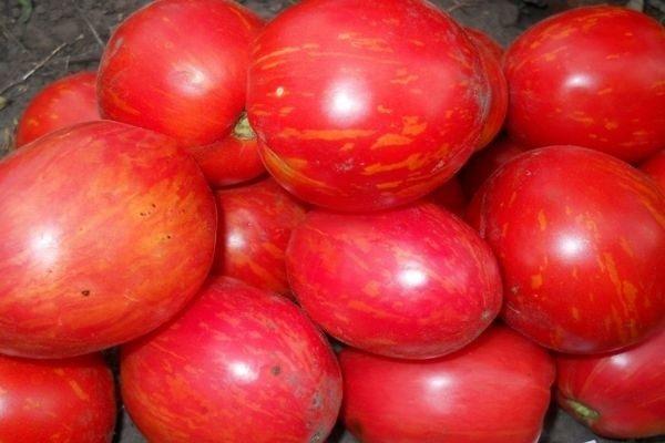 Дон Жуан - сорт необычайной красоты, очень яркий, за что его особенно любят использовать в качестве материала для засаливания овощей на зиму