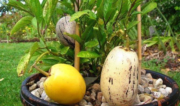 Черенкование пепино позволяет вырастить более обильный и одновременно многочисленный урожай