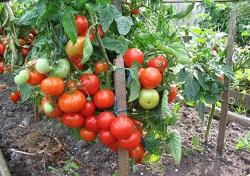 Детерминантный сорт помидор - что это: описание и особенности