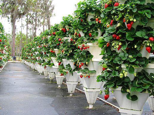 Ампельную клубнику можно выращивать на высоких конструкциях