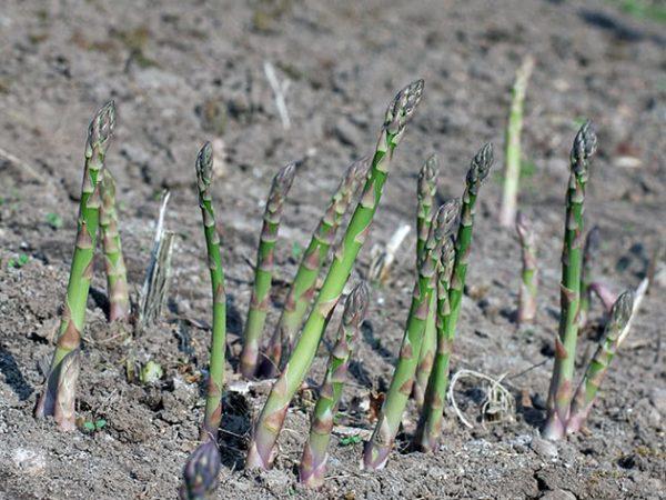 Аспарагус нуждается в солнечных лучах и частом поливе