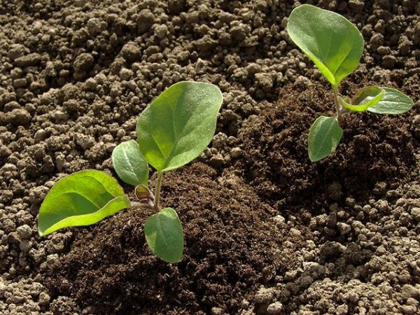 Баклажаны можно сажать в грунт как в виде семян, так и в виде рассады