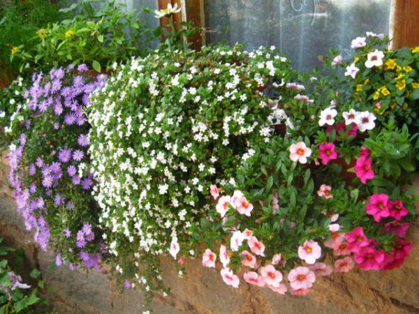 Сегодня существует огромное количество разновидностей бакопы, которые доступны каждому современному садоводу