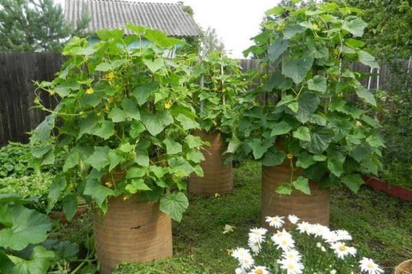 Без подвязки огуречные кусты удобно выращивать в бочках