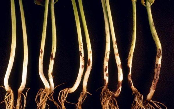 Болезнь черная ножка способна уничтожить молодые растения
