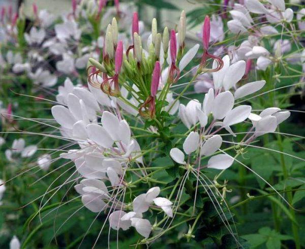 Брызги шампанского - один из самых востребованных сортов растения