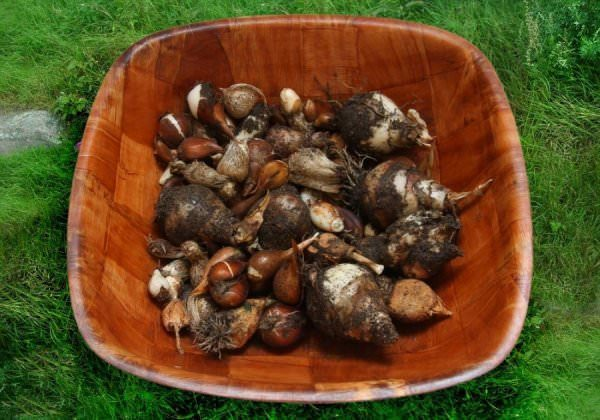 Чтобы легко очистить луковицы от земли, не осуществляйте выкапывание в дождливые дни