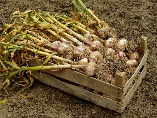 Чтобы не собирать недозрелый чеснок, важно заранее подбирать сорт, подходящий под климат вашего региона
