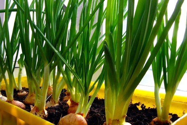 Чтобы подпитывать луковицы, почва должна быть постоянно увлажненной и мягкой