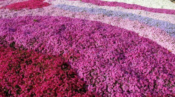 Чтобы получить густое цветение, флоксы высаживают на плодородных почвах