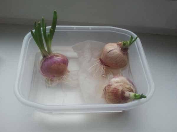 Чтобы поторопить появление корешков, поместите луковицы в водную среду