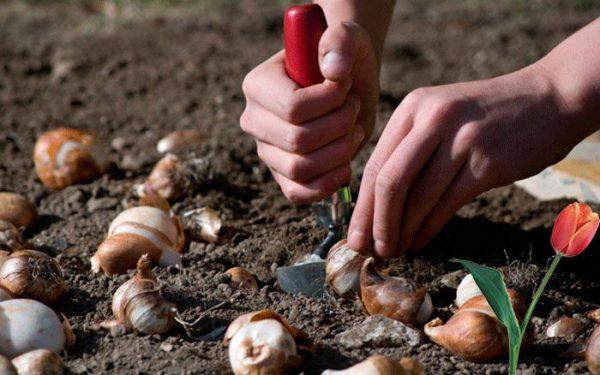 Чтобы тюльпаны хорошо проросли в почве, необходимо провести ее удобрение и дезинфекцию