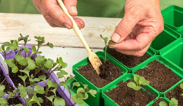 Ценные компоненты подкормки укрепляют иммунитет сеянцев и ускоряют их рост
