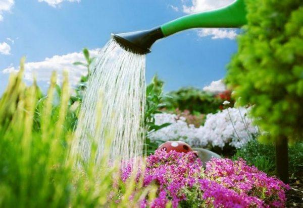 Цветение будет пышным при достаточном поливе