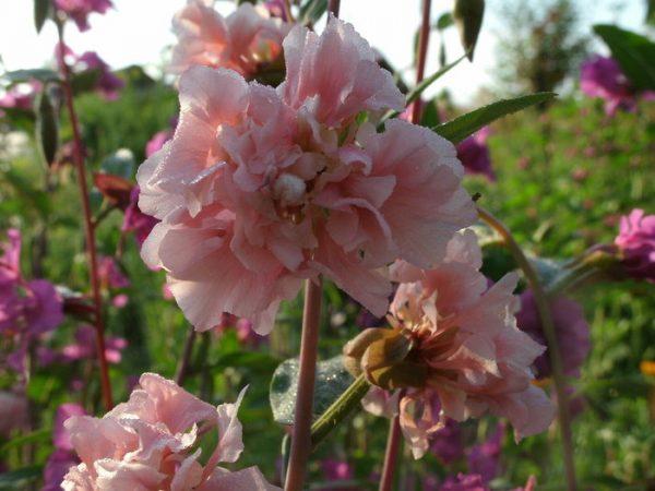 Цветки, больные грибком, покрываются пятнами и тускнеют