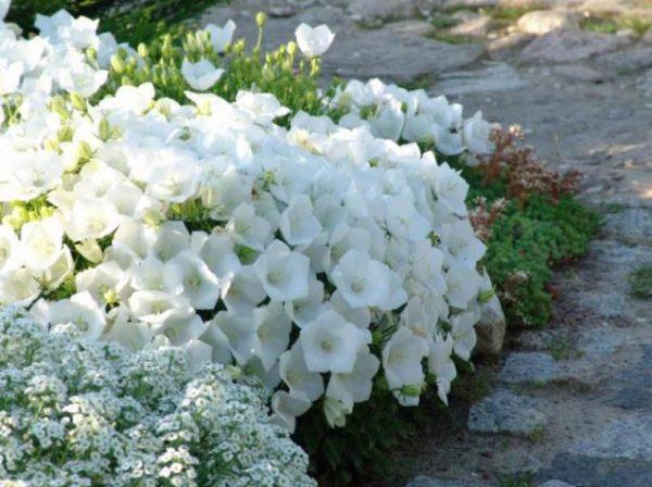 Цветок лучше выращивать на высоких клумбах