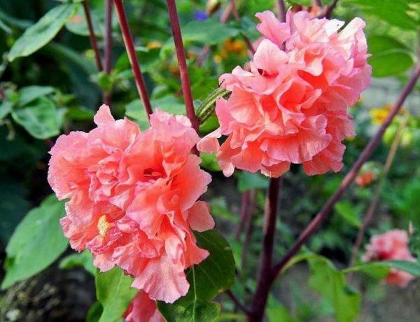 Цветущая розовая кларкия