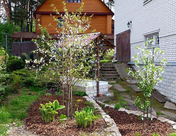 Цветущее деревце с правильно сформированной кроной