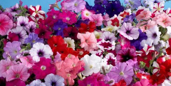 Цветущие кустики петунии