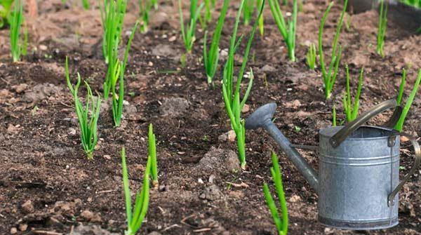 Для хорошего урожая необходимо поливать лук по правилам