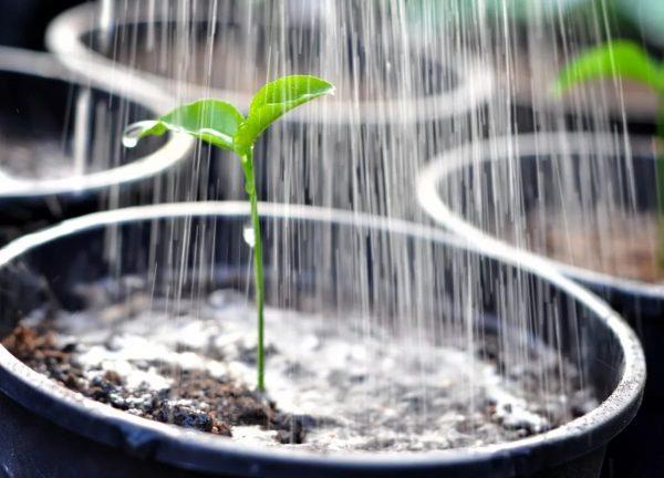 Для нормального роста клеому важно правильно поливать