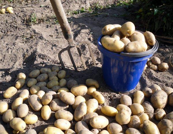 Для сбора картофеля лучше всего подходит солнечный теплый день