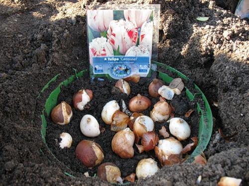 До того, как погружать луковицы в почву, необходимо обработать их