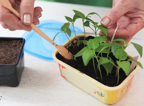 До высадки в открытый грунт перец удобряется трижды