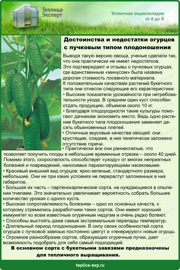 Достоинства и недостатки огурцов с пучковым типом плодоношения