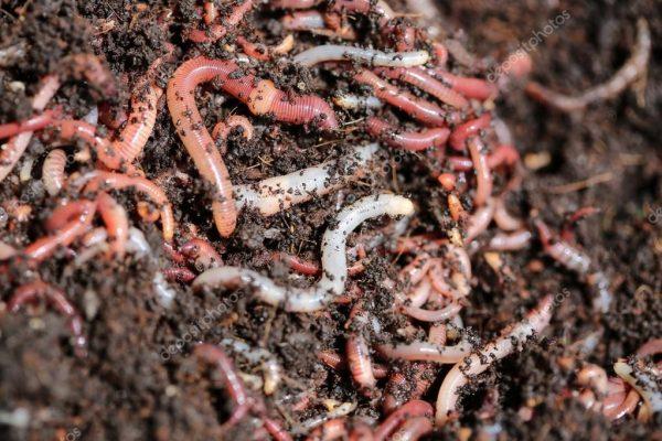 Дождевые черви улучшают качество почвы