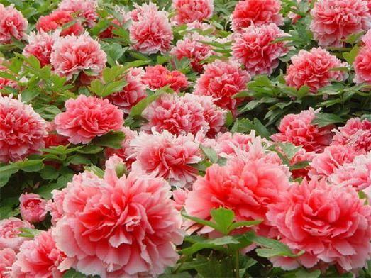 Древовидный пион - изысканный восточный цветок
