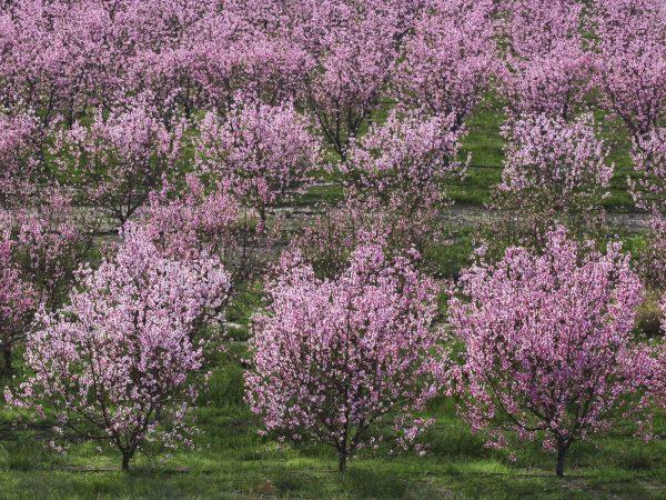 Если планируется посадка большого вишневого сада, саженцы располагаются на значительном расстоянии друг от друга