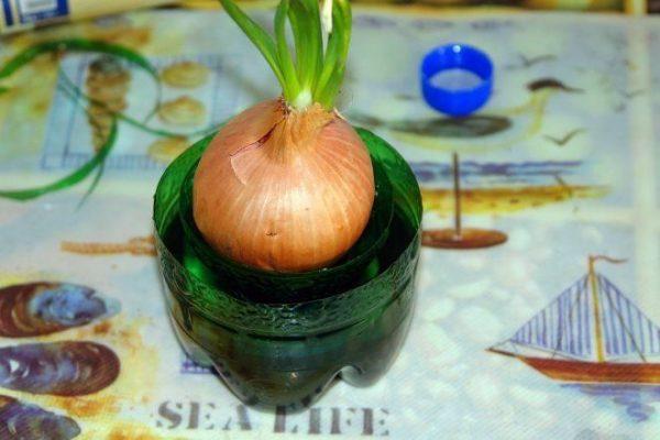 Если вы поместите луковицу слишком глубоко в емкость, она неизбежно начнет гнить