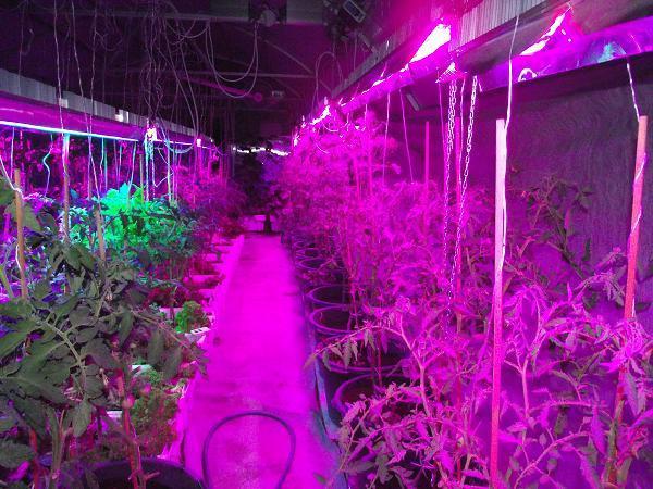 Фитолампы широко используются при выращивании различных светолюбивых культур