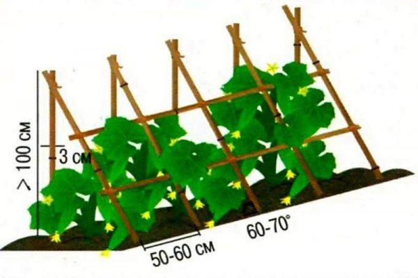 Формирование куста начинается, когда стебель вырастает до 15-20 см