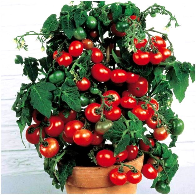 Балконное чудо помидоры - выращивание особого сорта своими руками (125 фото)
