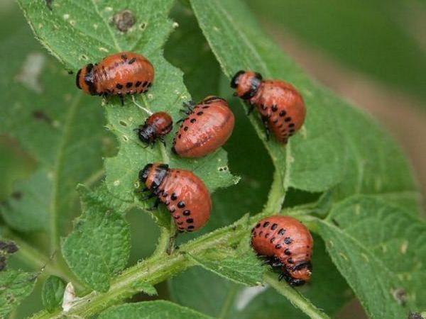 Личинки колорадских жуков портят стебли и листья томатов.