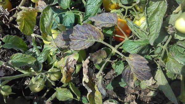 Первый признак фитофтороза – потемнение листьев.