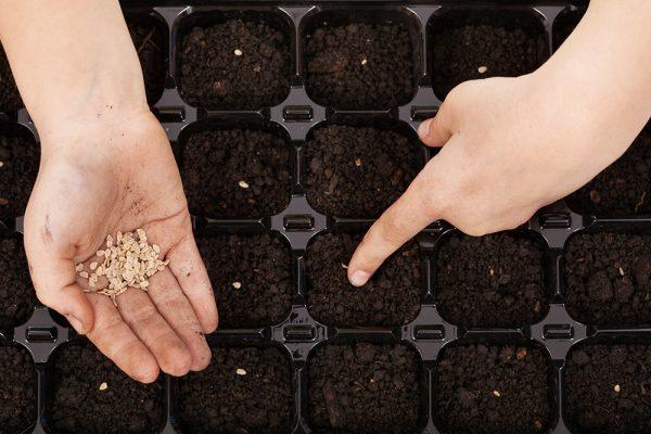 Семена можно посадить и в контейнер-разделитель.