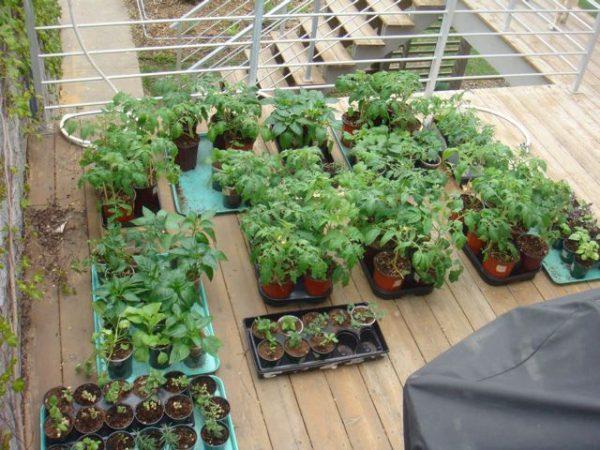 Закаливать рассаду можно и на открытом балконе.